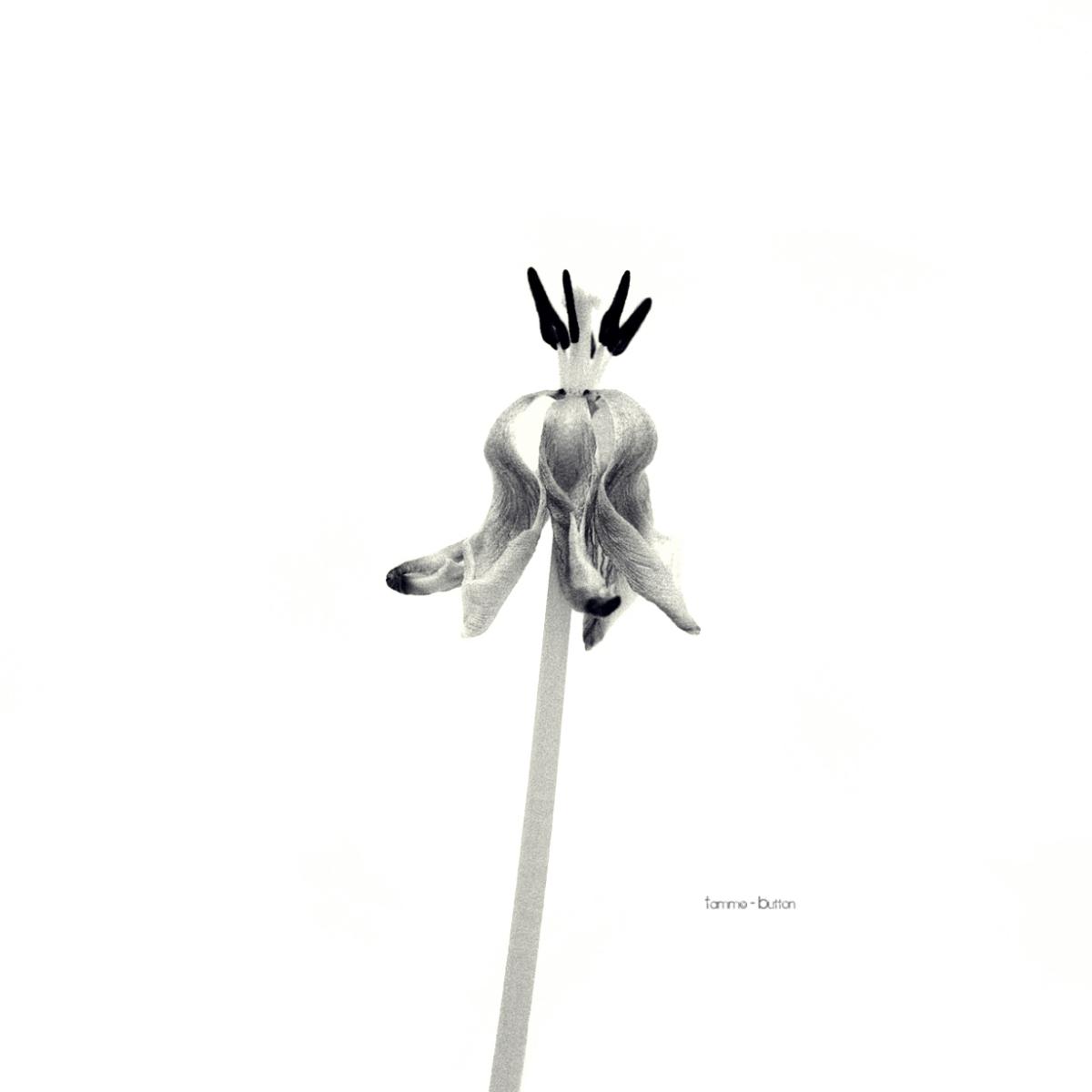 Withered tulip - verwelkte Tulpe